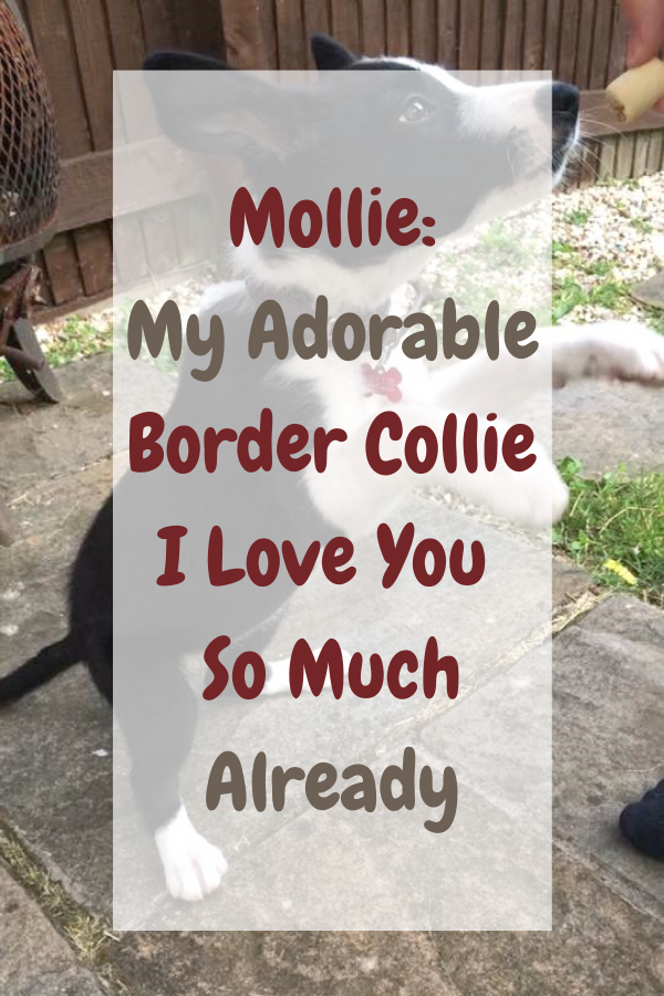 Mollie: My Adorable Border Collie I Love You So Much Already.