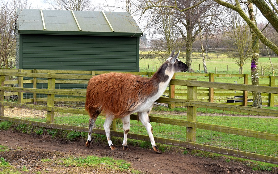 Llama Drama: A Trip To The Farm: Wordless Wednesday
