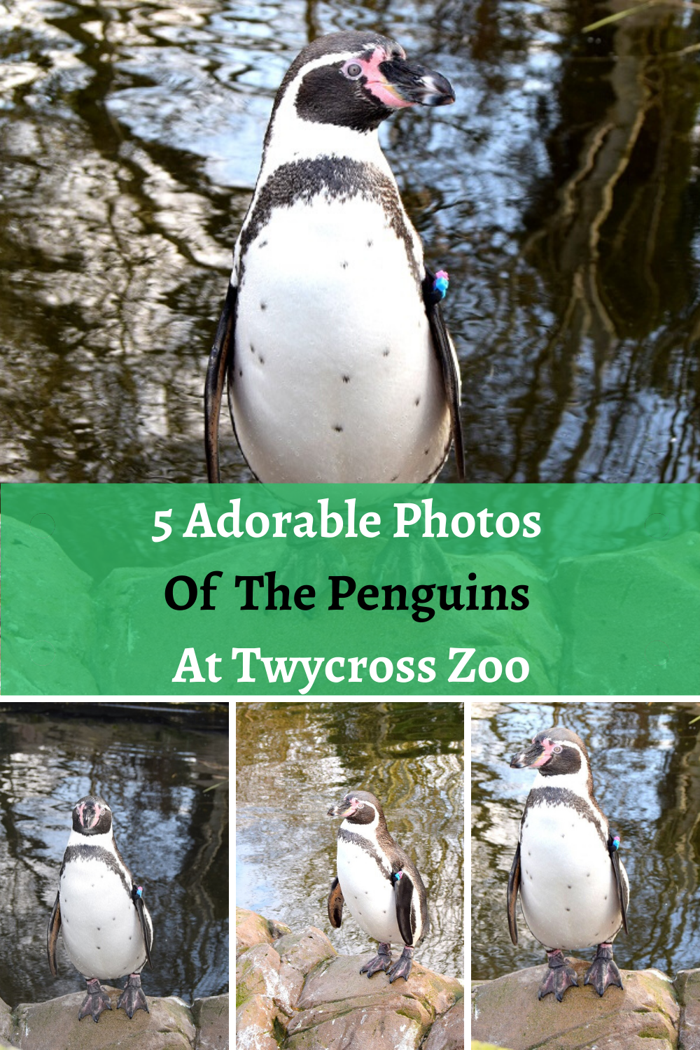 5 Adorable Photos Of The Penguins At Twycross Zoo