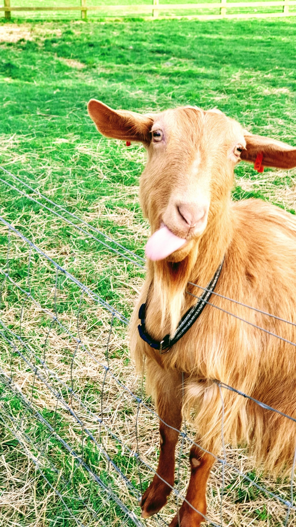 Adorable Goats- White Post Farm: Haters Gonna Hate