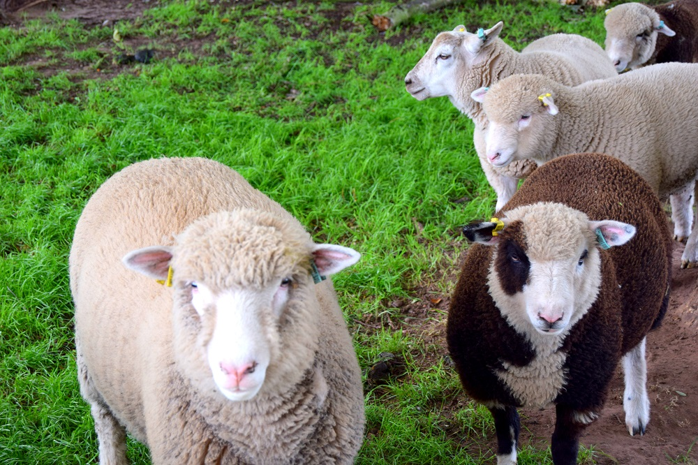 Over 40 Style & Adorable Sheep At White Post Farm