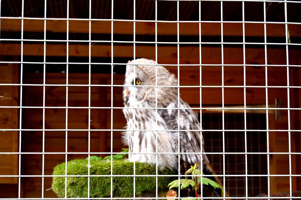 Owl at White Post Farm