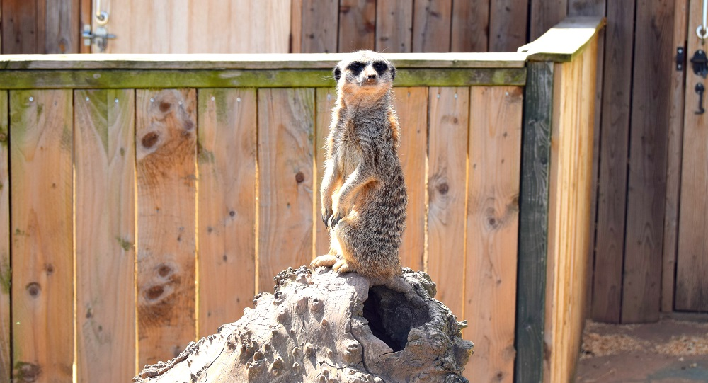 The Meerkats At White Post Farm: Also How Adorable!?