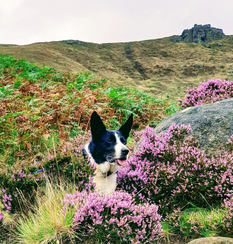 A Walk Up Kinder Scout With Mollie The Border Collie.