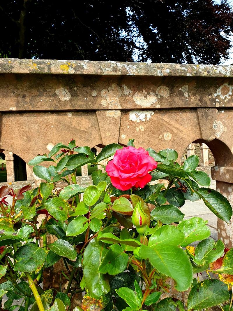 Roses Summer 2020