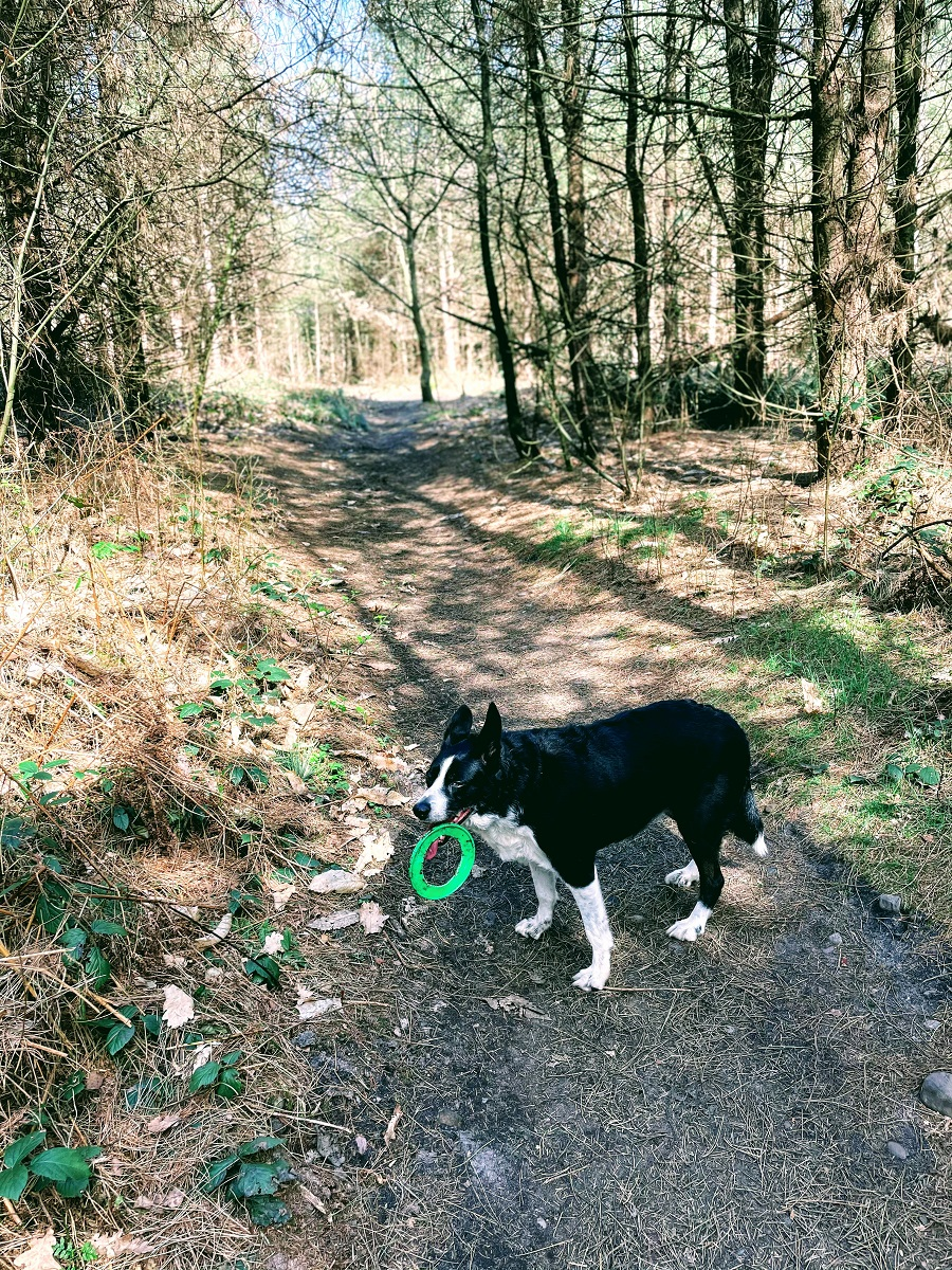 Mollie The Border Collie In Woods