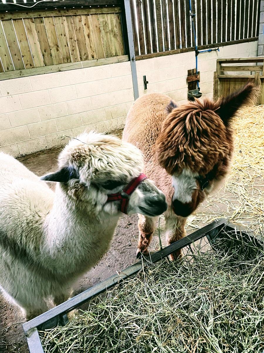 Eddie & Alfie The New Alpacas At White Post Farm