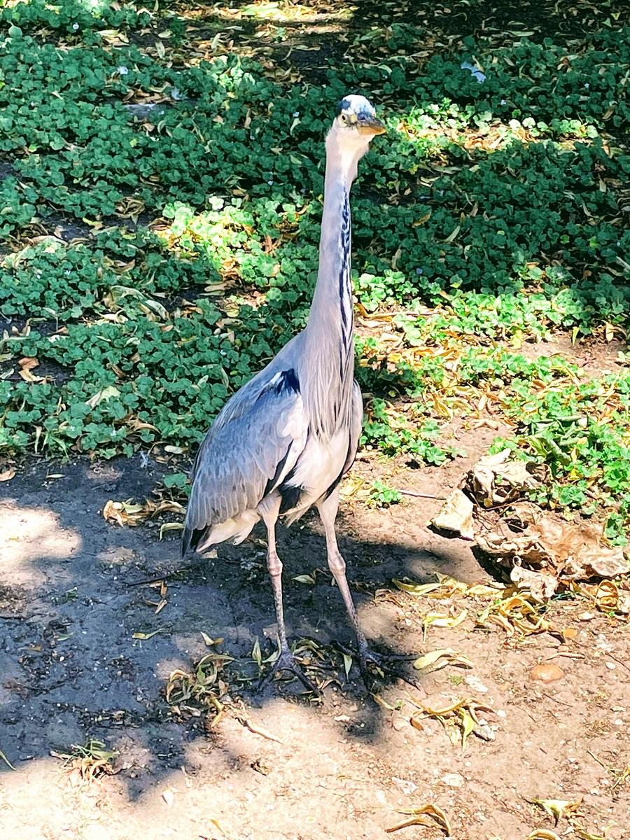 Heron In St James Park